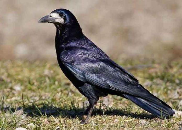 Грачи зимующие или перелетные птицы