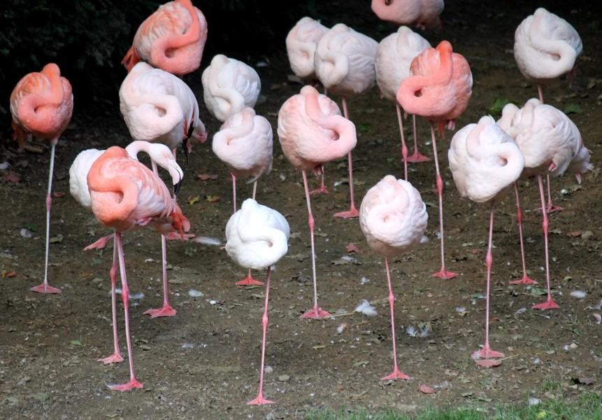 Фламинго спят на одной ноге