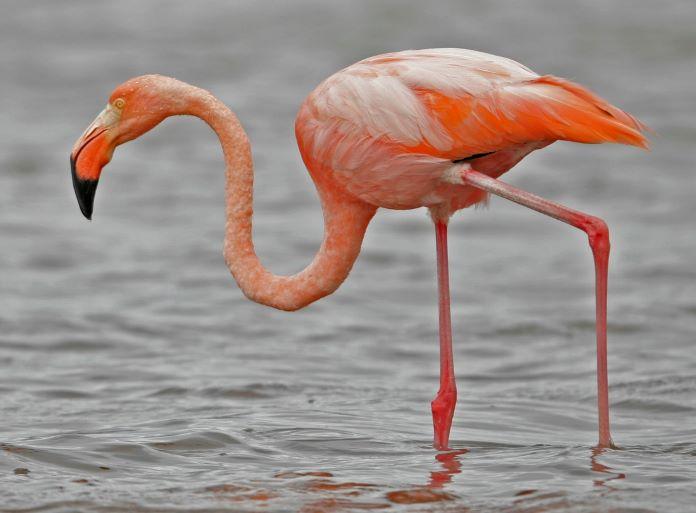 Фото птицы фламинго