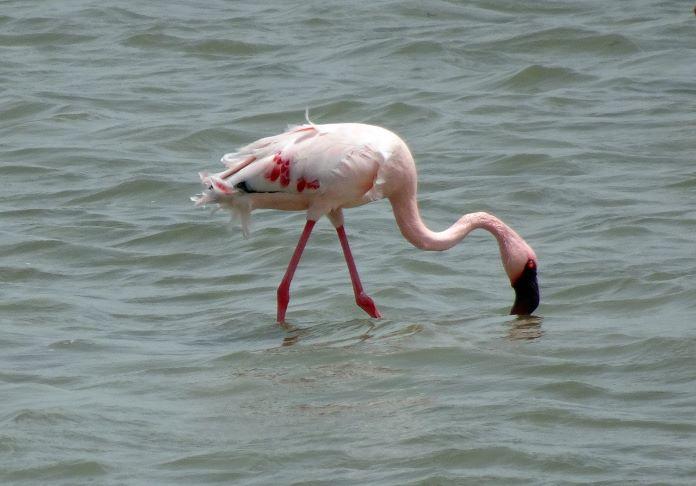Малый фламинго