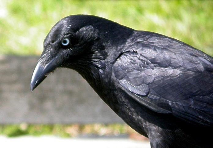 Южноавстралийская ворона - фото