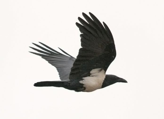 Белоплечий ворон