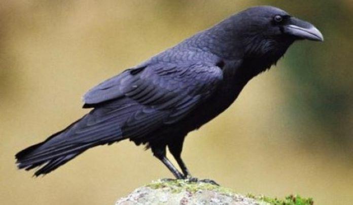 Обыкновенный ворон