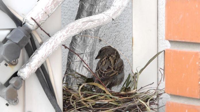 Гнездо воробья на доме