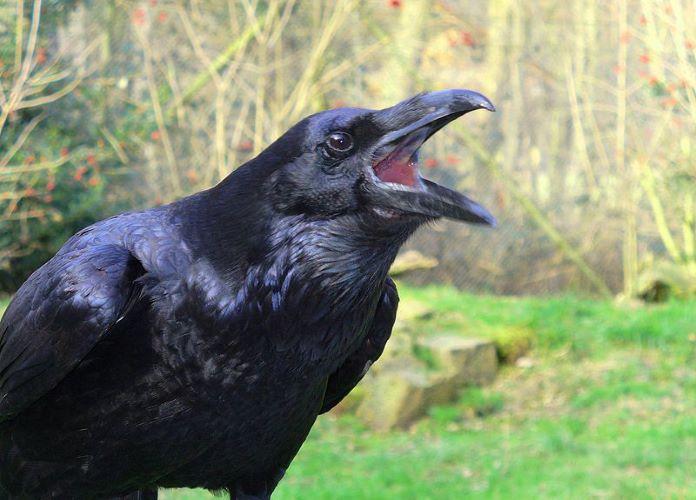 Голос обыкновенного ворона