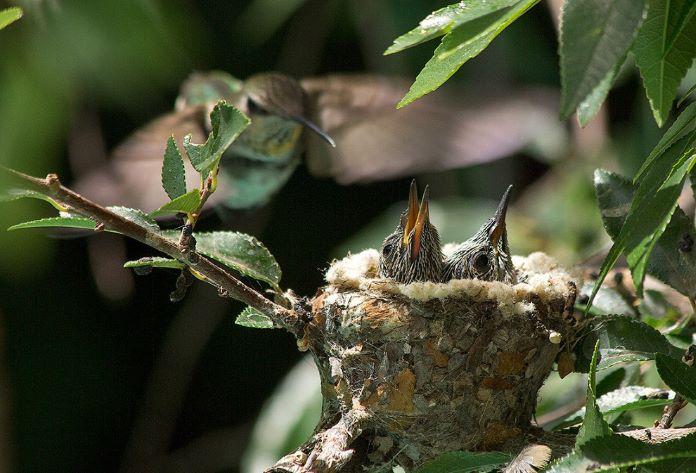 Птенцы колибри размеры