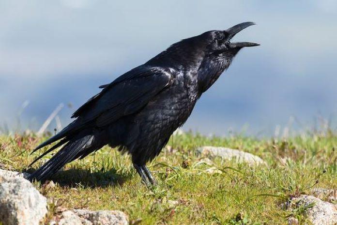Обыкновенный ворон фото