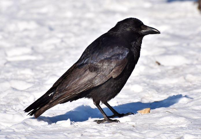 Хищная птица ворон