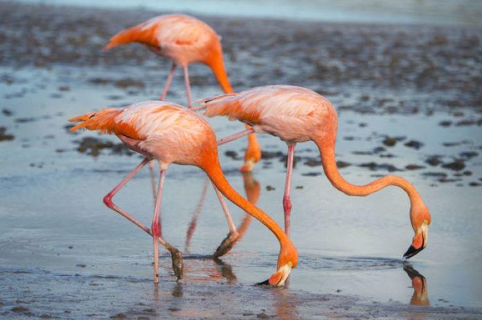 Описание птиц фламинго