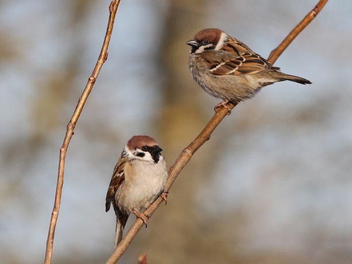 Самка и самец воробья