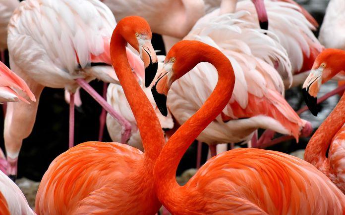 Самка и самец фламинго