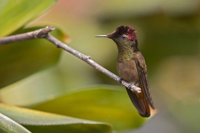 Рубиновый колибри