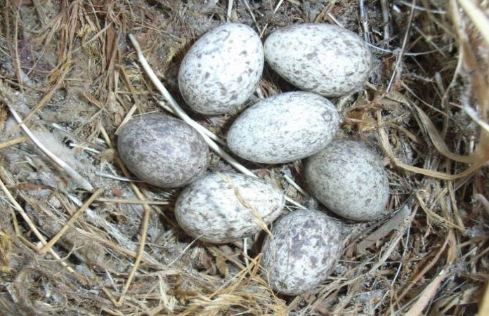 Яйца воробья
