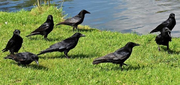 Птица ворон приметы