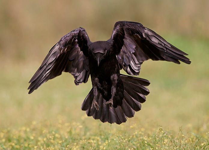 Ворон и ворона разные птицы