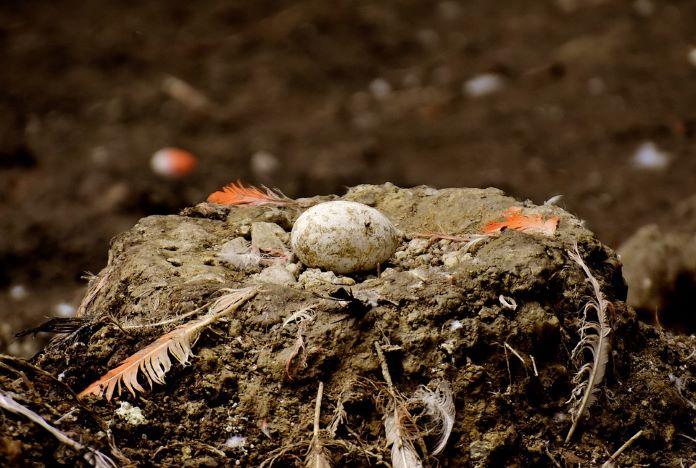 Яйцо фламинго
