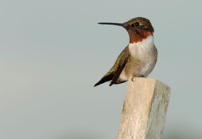 Обыкновенный колибри