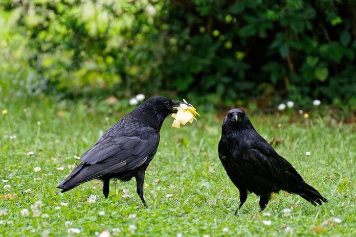 Разница в образе жизни ворона вороны