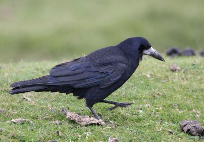 Описание птицы грача