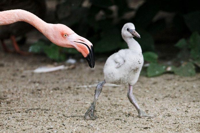 Птенец розового фламинго