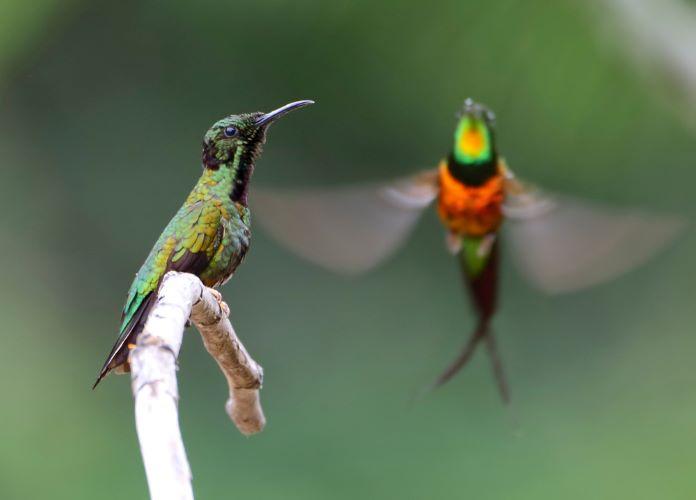 Плазменный топазовый колибри
