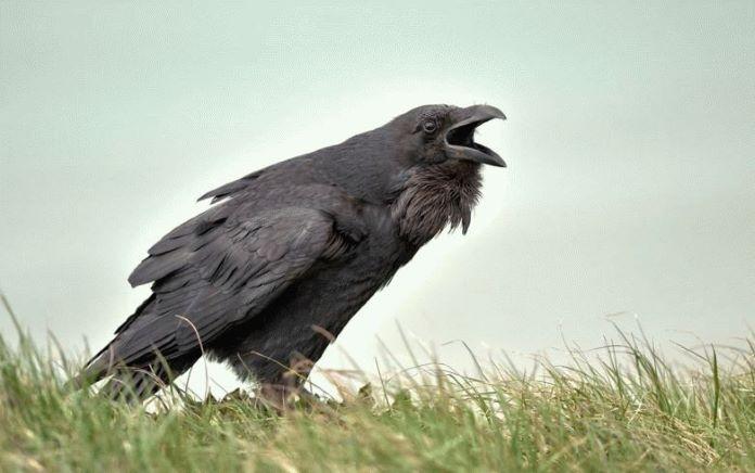 Крик птицы ворона