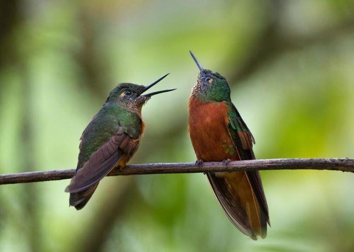 Каштановогрудый венценосный колибри