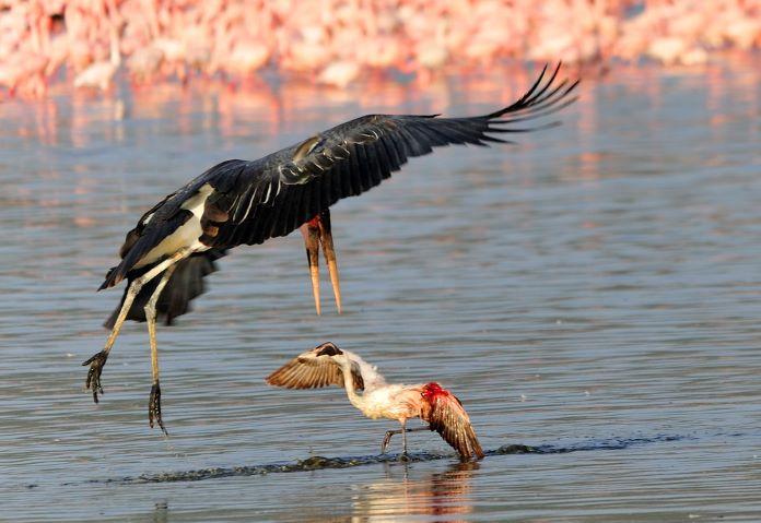 Враги фламинго