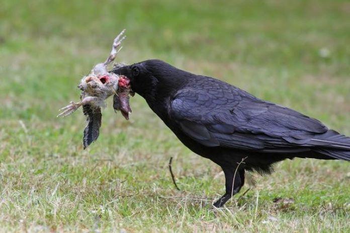 Чем питается птица ворон