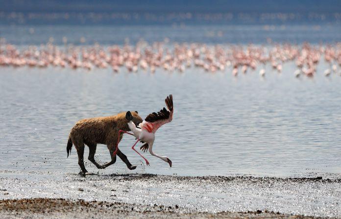 На фламинго охотятся