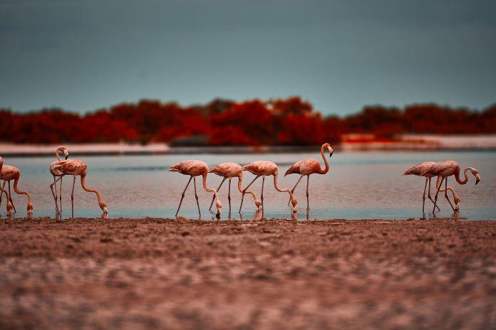 Почему количество фламинго сокращается