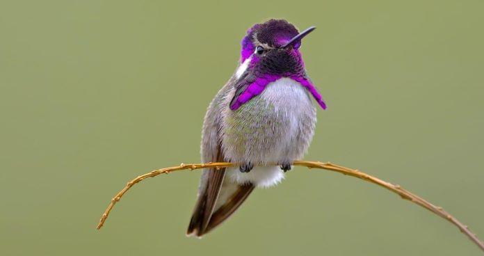 Сколько лет живет колибри