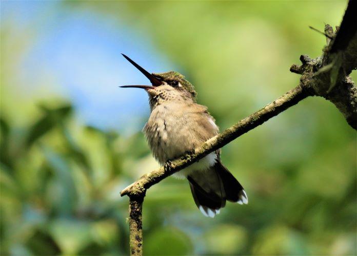 Голос колибри