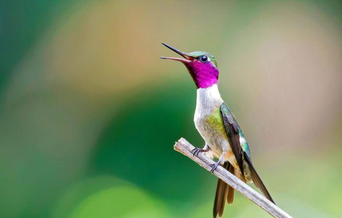 Пение колибри