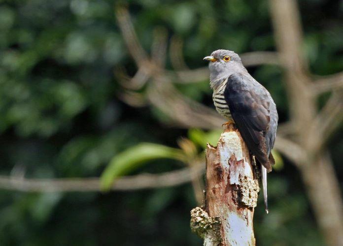 Малайско-зондская кукушка