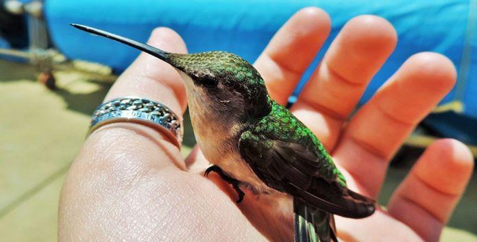 Содержат ли колибри дома