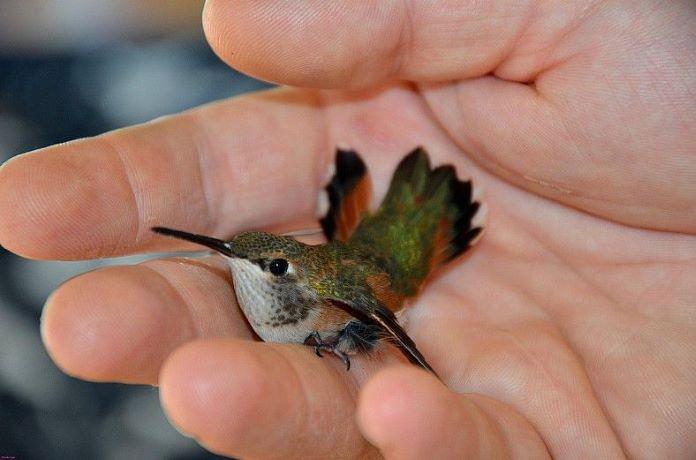 Колибри в домашних условиях