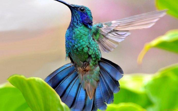 Сколько взмахов делает колибри