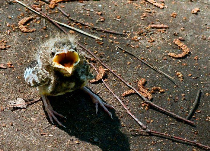 Птенцы кукушки выпали из гнезда