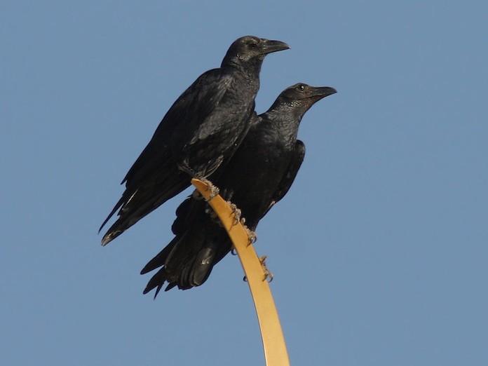 Щетинистая ворона - фото