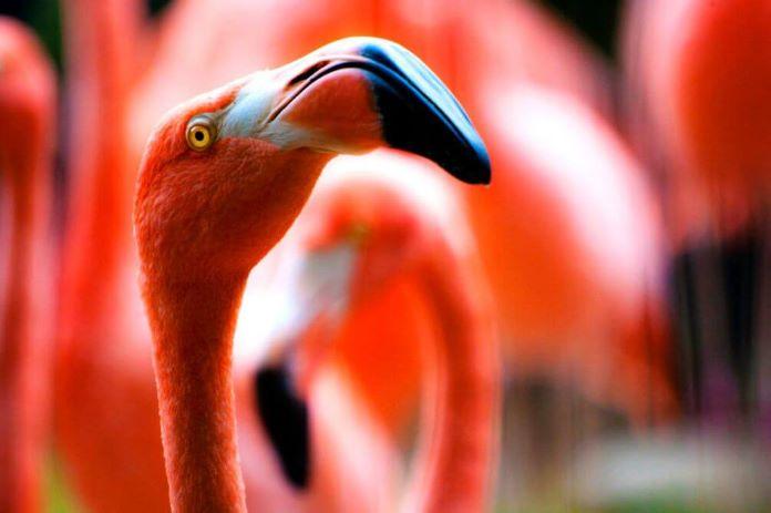 Какой клюв у фламинго
