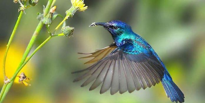 Сколько взмахов крыльями делает колибри