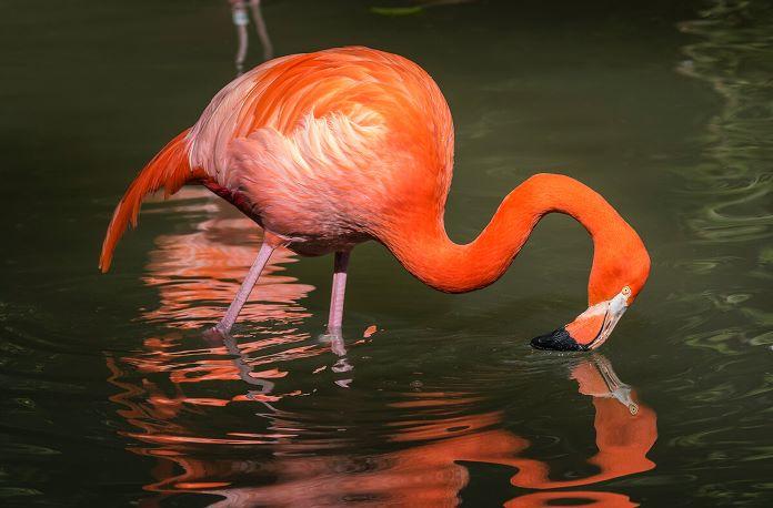 Что едят розовые фламинго