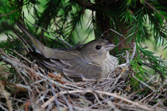 Гнезда воробья на дереве