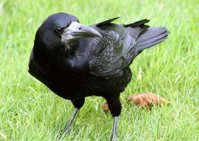 Грач птицы