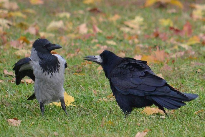 Грач и ворона