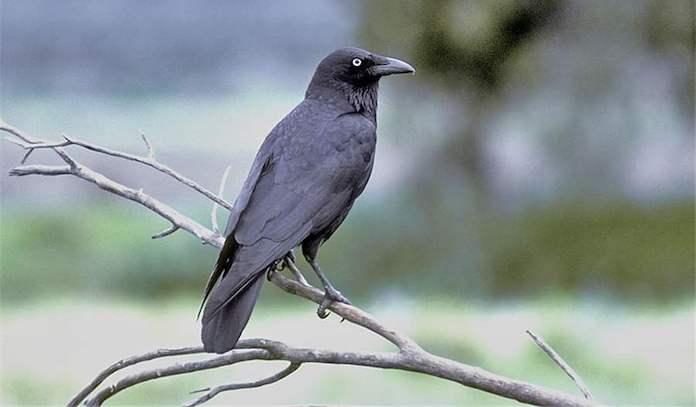 Как выглядит южноавстралийская ворона