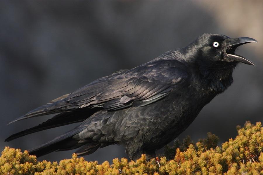 Как выглядит австралийская ворона