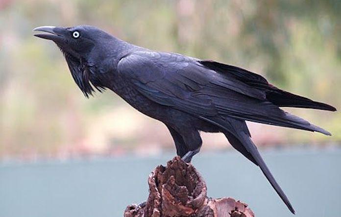 Австралийская ворона у реки