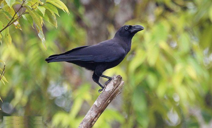 Бангайская ворона